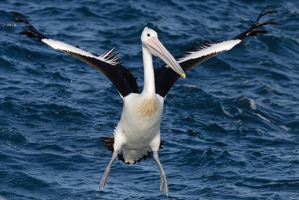 Australian Pelican Wollongong, NSW September 26, 2010 IMG_1647