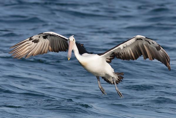 Australian Pelican Wollongong, NSW September 26, 2010 IMG_1711