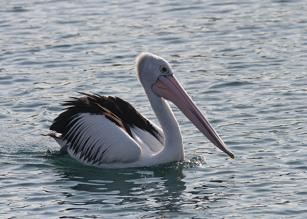 Australian Pelican Wollongong, NSW September 26, 2010 IMG_1778