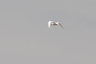 Red-tailed Tropicbird (Phaethon rubricauda)