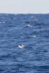 White-tailed Tropicbird Sydney, NSW April 09, 2011 IMG_9942
