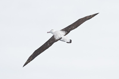 Antipodean Albatross (Diomedea antipodensis)