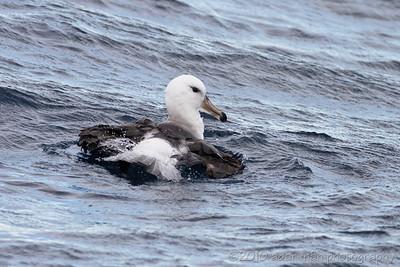 Black-browed Albatross Wollongong, NSW June, 2010 IMG_9802