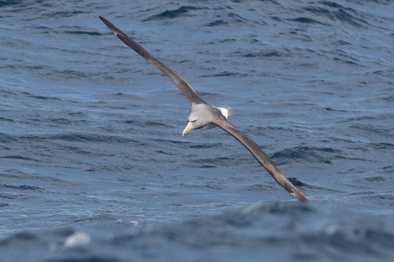 Chatham Island Albatross Eaglehawk Neck, TAS September 03, 2011 IMG_9957