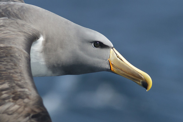 Chatham Island Albatross Eaglehawk Neck, TAS September 03, 2011 IMG_9971