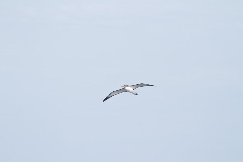 Chatham Island Albatross Eaglehawk Neck, TAS September 03, 2011 IMG_0046