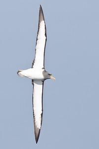 Chatham Island Albatross Eaglehawk Neck, TAS September 03, 2011 IMG_9889