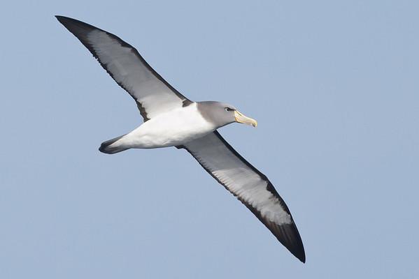 Chatham Island Albatross Eaglehawk Neck, TAS September 03, 2011 IMG_9922