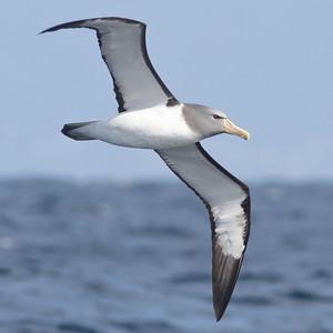 Chatham Island Albatross Eaglehawk Neck, TAS September 03, 2011 IMG_9907