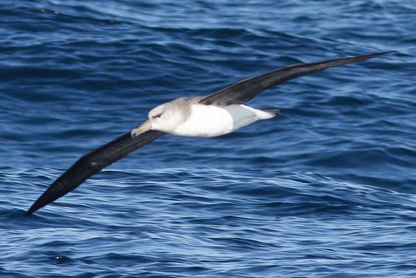 Grey-headed Albatross Wollongong, NSW September 22, 2012 IMG_6955