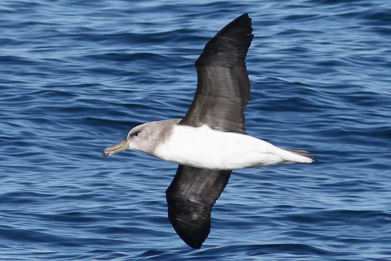 Grey-headed Albatross Wollongong, NSW September 22, 2012 IMG_6961