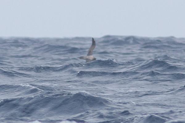 Light-mantled Sooty Albatross Eaglehawk Neck, TAS September 03, 2011 IMG_0564