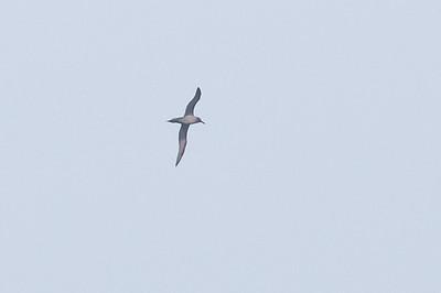 Light-mantled Sooty Albatross Eaglehawk Neck, TAS September 03, 2011 IMG_0572