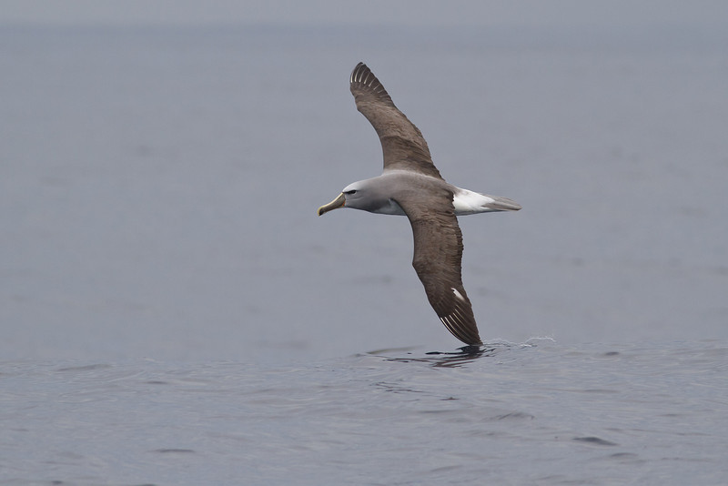 Salvin's Albatross (adult) Sydney, NSW October 08, 2011 IMG_0181