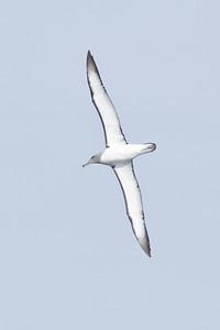 Salvin's Albatross Eaglehawk Neck, TAS September 03, 2011 IMG_0587