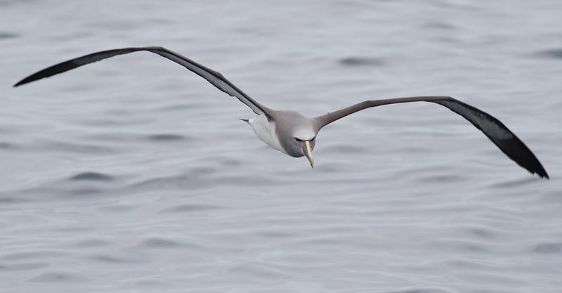 Salvin's Albatross (adult) Sydney, NSW October 08, 2011 IMG_0145