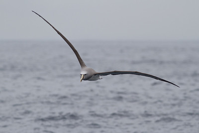 Salvin's Albatross (adult) Sydney, NSW October 08, 2011 IMG_0074