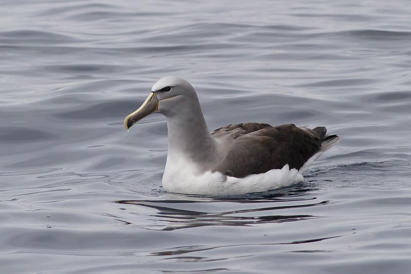 Salvin's Albatross (adult) Sydney, NSW October 08, 2011 IMG_0247