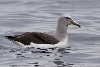 Salvin's Albatross (adult) Sydney, NSW October 08, 2011 IMG_0244