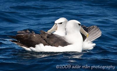 Shy Albatross Courtship 6/6 Ulladulla, NSW October, 2009 IMG_8922