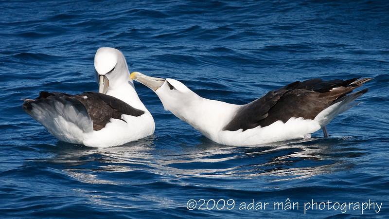 Shy Albatross Courtship 1/6 Ulladulla, NSW October, 2009 IMG_8850