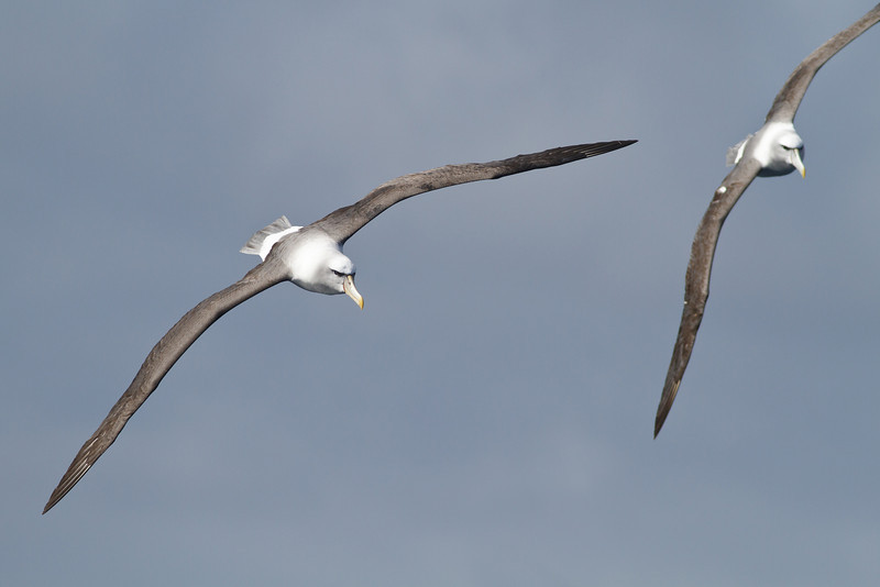 Shy Albatross (unusually yellow bill) Eaglehawk Neck, TAS August 18, 2012 IMG_1334