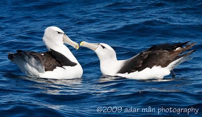 Shy Albatross Courtship 2/6 Ulladulla, NSW October, 2009 IMG_8851
