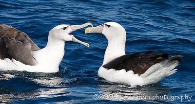 Shy Albatross Courtship 4/6 Ulladulla, NSW October, 2009 IMG_8900