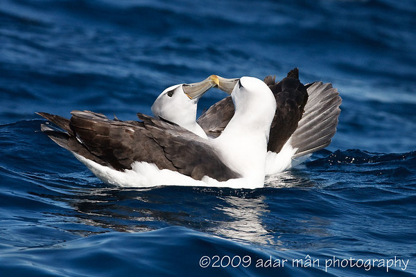 Shy Albatross Courtship 5/6 Ulladulla, NSW October, 2009 IMG_8897