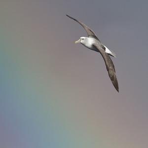 Shy Albatross Eaglehawk Neck, TAS August 18, 2012 IMG_0128