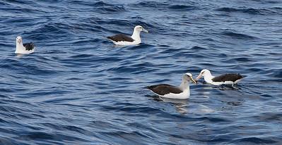 Black-browed Albatross, Shy Albatross, Buller's Albatross, Campbell Albatross Wollongong, NSW April 23, 2011 IMG_2787