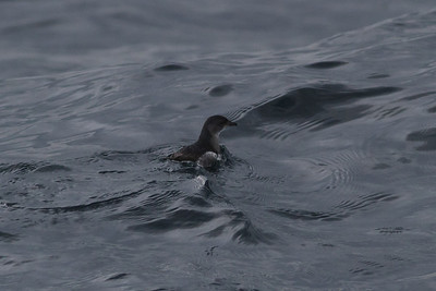 Common Diving-petrel Eaglehawk Neck, TAS September 04, 2011 IMG_8015
