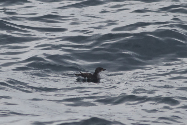 Common Diving-petrel Eaglehawk Neck, TAS September 04, 2011 IMG_8043