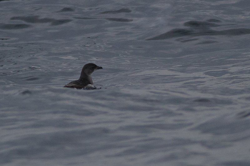 Common Diving-petrel Eaglehawk Neck, TAS September 04, 2011 IMG_8016