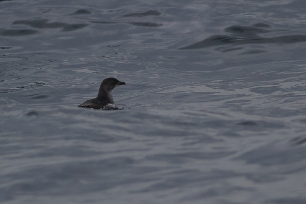 Common Diving-petrel Eaglehawk Neck, TAS September 04, 2011 IMG_8016