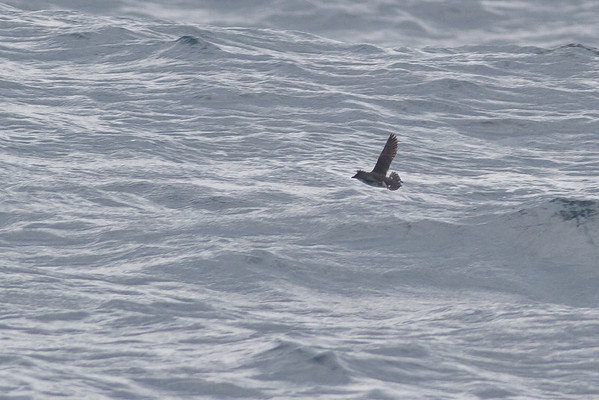 Common Diving-petrel Eaglehawk Neck, TAS September 03, 2011 IMG_0960