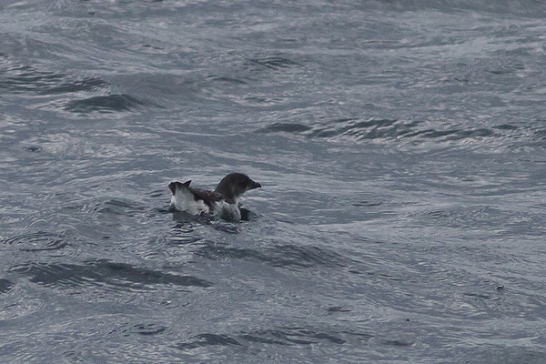 Common Diving-petrel Eaglehawk Neck, TAS September 04, 2011 IMG_8003