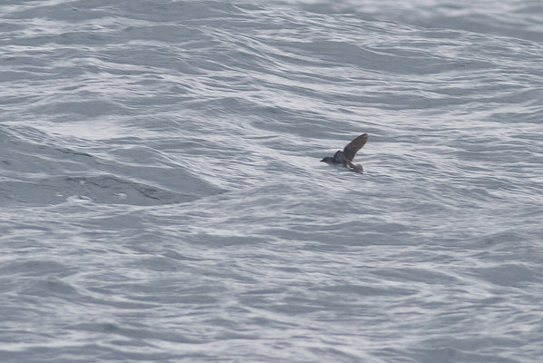 Common Diving-petrel Eaglehawk Neck, TAS September 03, 2011 IMG_0961