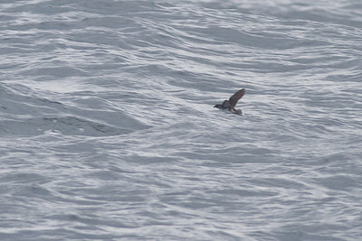 Common Diving-petrel Eaglehawk Neck, TAS September 03, 2011 IMG_0961