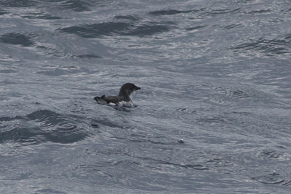 Common Diving-petrel Eaglehawk Neck, TAS September 04, 2011 IMG_8002