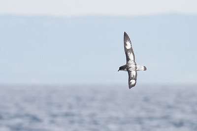 Cape Petrel (Daption capense)