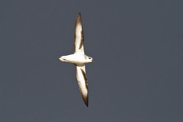 Black-winged Petrel (display flight) Lord Howe Island, NSW December, 2011 IMG_1482