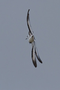 Black-winged Petrel (display flight) Lord Howe Island, NSW December, 2011 IMG_1544