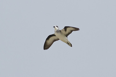 Black-winged Petrel (display flight) Lord Howe Island, NSW December, 2011 IMG_0887