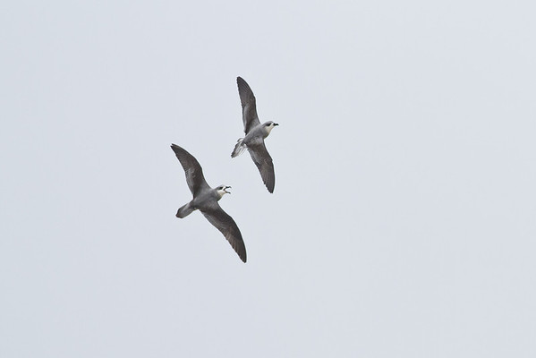 Black-winged Petrel (display flight) Lord Howe Island, NSW December, 2011 IMG_1001