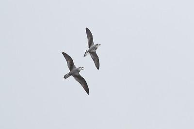Black-winged Petrel (display flight) Lord Howe Island, NSW December, 2011 IMG_1001