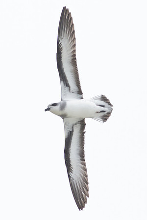 Black-winged Petrel (display flight) Lord Howe Island, NSW December, 2011 IMG_9255