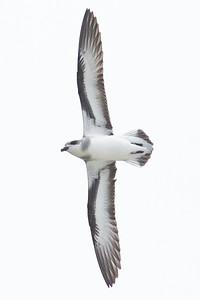 Black-winged Petrel (display flight) Lord Howe Island, NSW December, 2011 IMG_9255