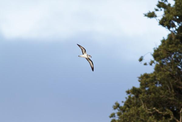 Black-winged Petrel (display flight) Lord Howe Island, NSW December, 2011 IMG_1466