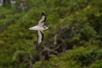 Black-winged Petrel (display flight) Lord Howe Island, NSW December, 2011 IMG_0618